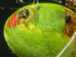 Araniella cucurbitina, spinnerets · raudondėmis voriukas