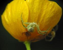 Misumena vatia female · geltonasis žiedvoris ♀