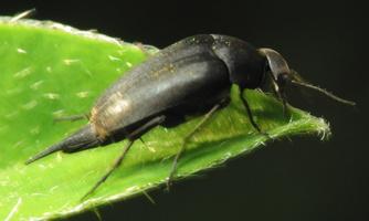 Mordella holomelaena ? · dygliavabalis