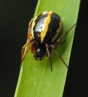 Hypsosinga pygmaea female · mažasis lakavoris ♀