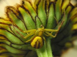 Misumena vatia male · geltonasis žiedvoris ♂