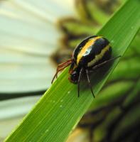 Hypsosinga pygmaea · mažasis lakavoris