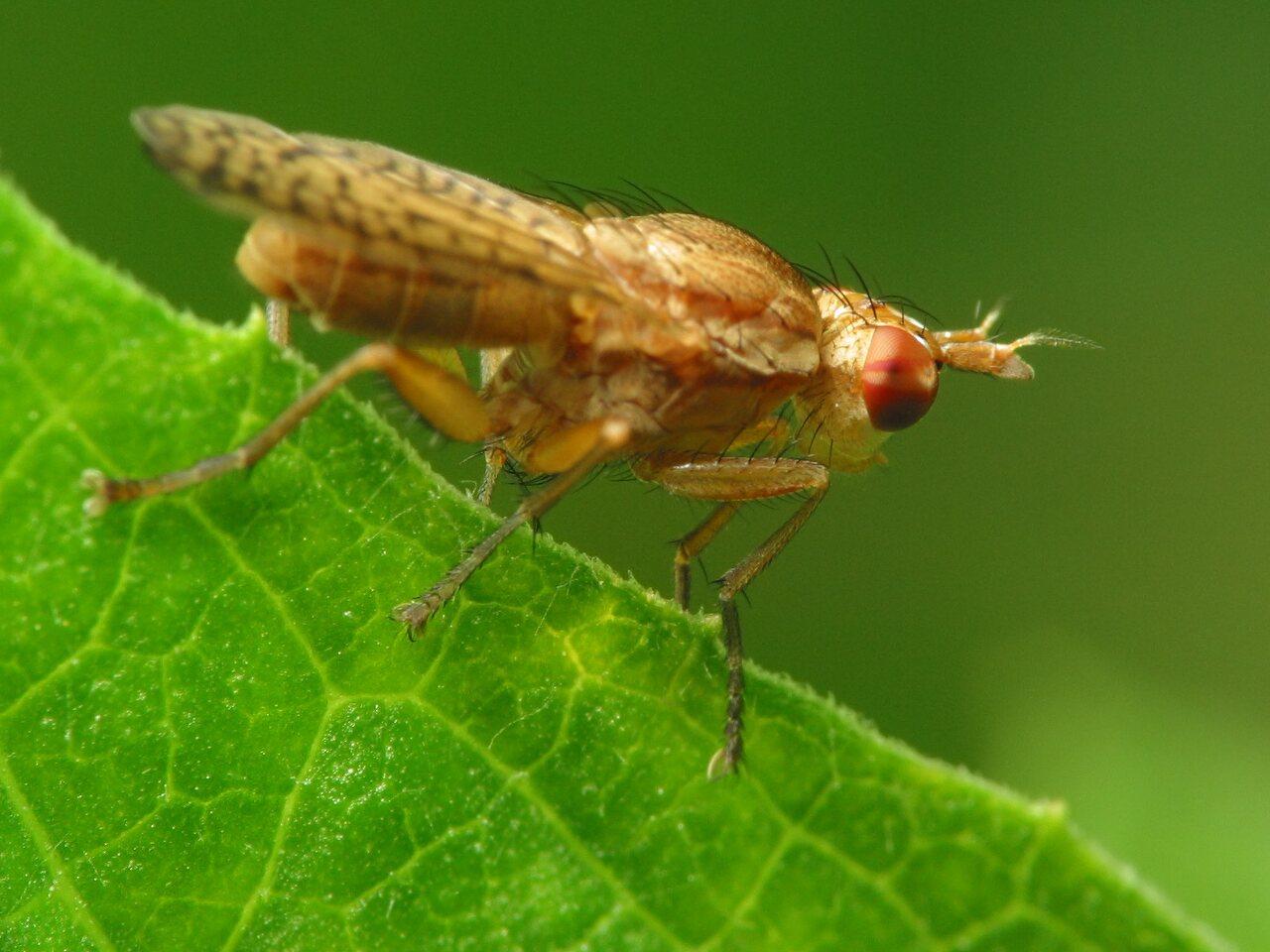 Sciomyzidae-2324.jpg