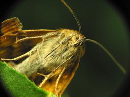 Euclidia glyphica · rusvasis dobilinukas
