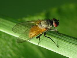 Diptera 2337