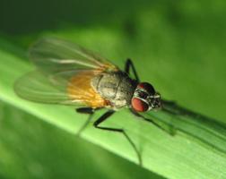 Diptera 2338