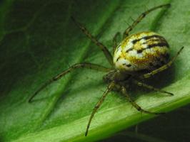 Mangora acalypha, female · dryžuotasis plunksnuolis ♀