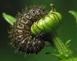 larva 2353