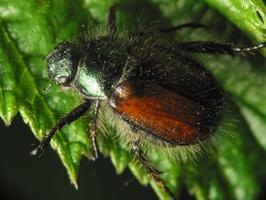 Phyllopertha horticola · grikinukas
