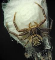 Xysticus cristatus · paprastasis krabvoris