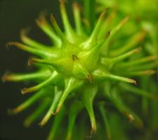 Carex flava  · gelsvoji viksva