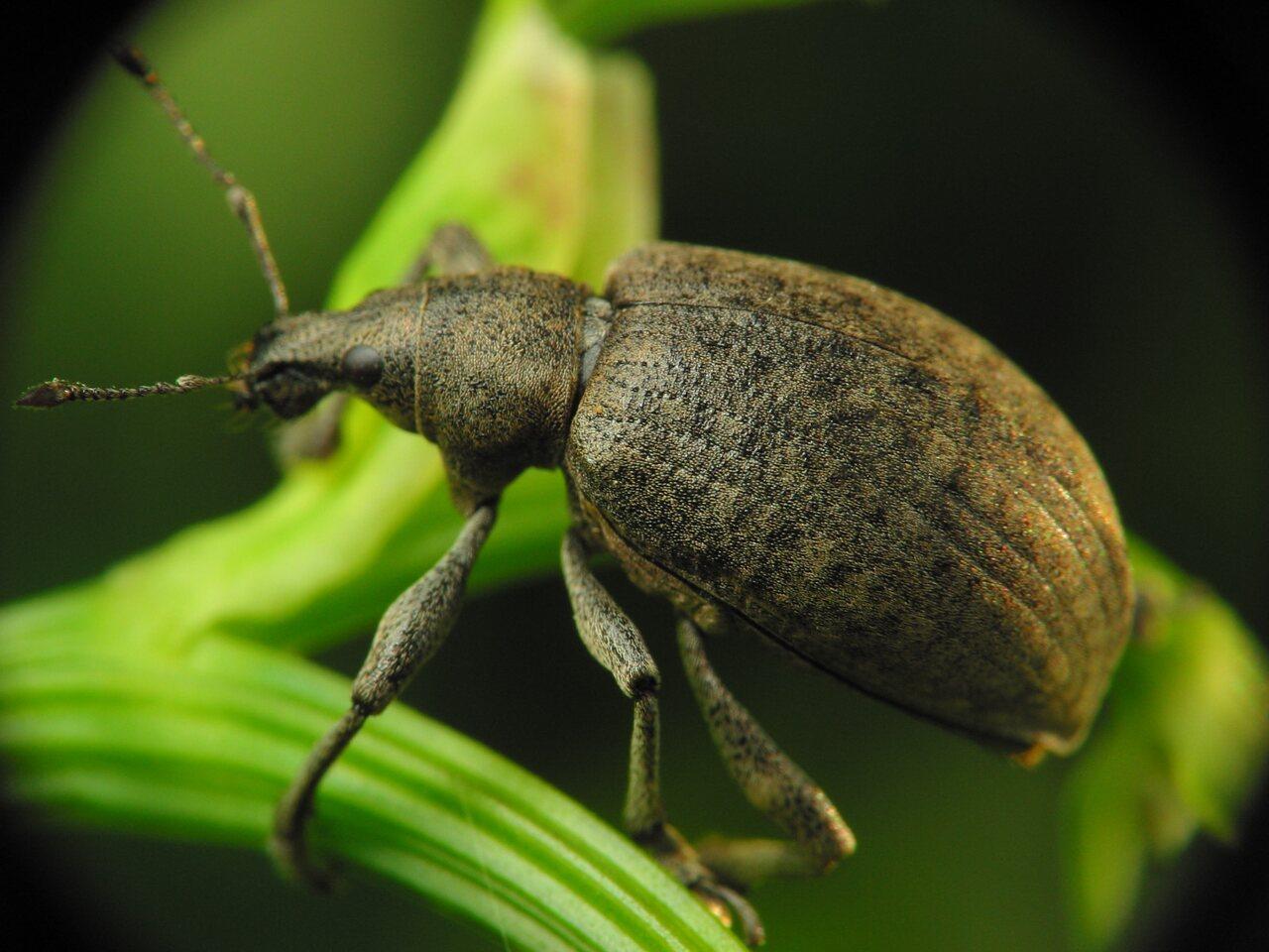 Curculionidae-2416.jpg
