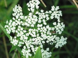 Apiaceae · salieriniai