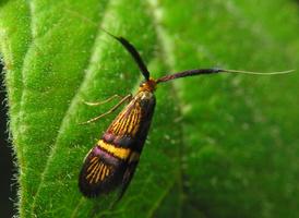 Adela croesella · siauradryžė ilgaūsė makštinė kandis