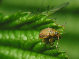 Galerucella tenella · žemuoginis aksominukas