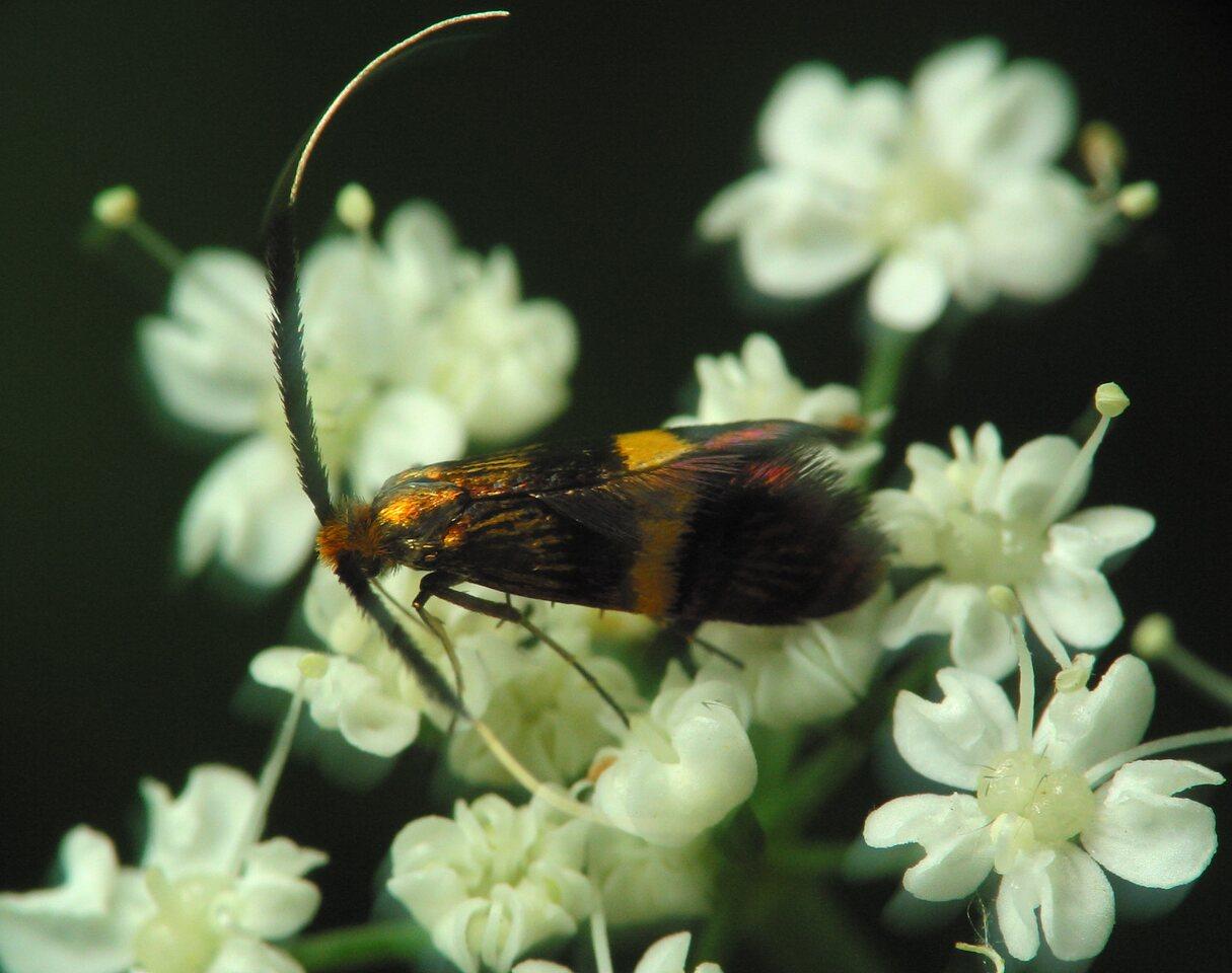 Adela-croesella-2450.jpg