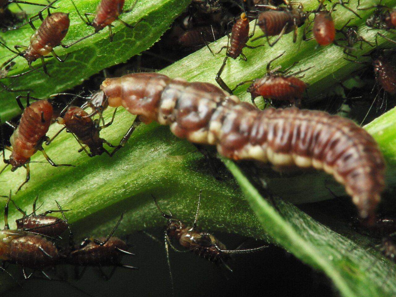 Hemerobiidae-larva-2461.jpg