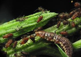 Hemerobiidae larva feeding on aphids · lapasparnis, lerva