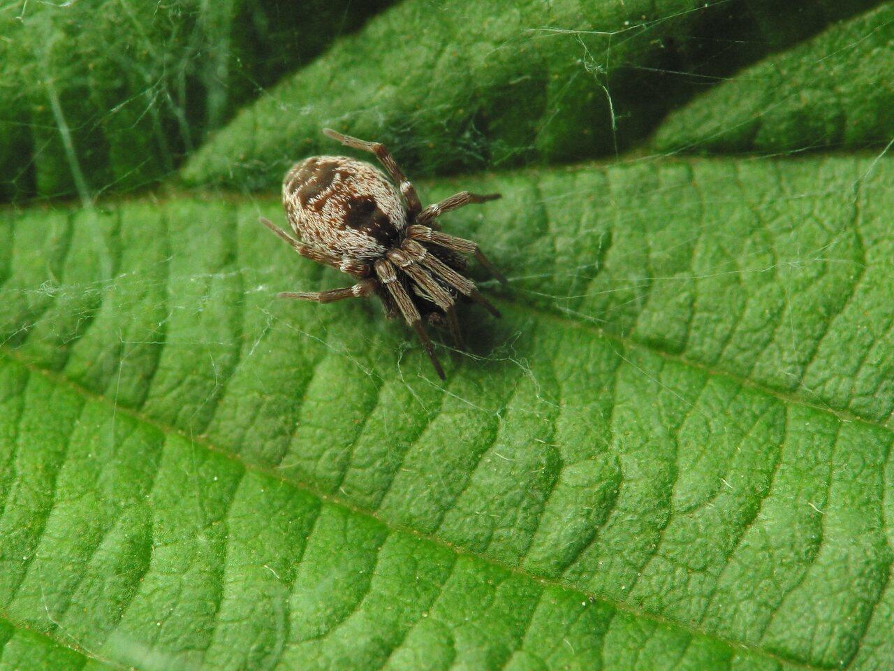 Dictynidae-2475.jpg