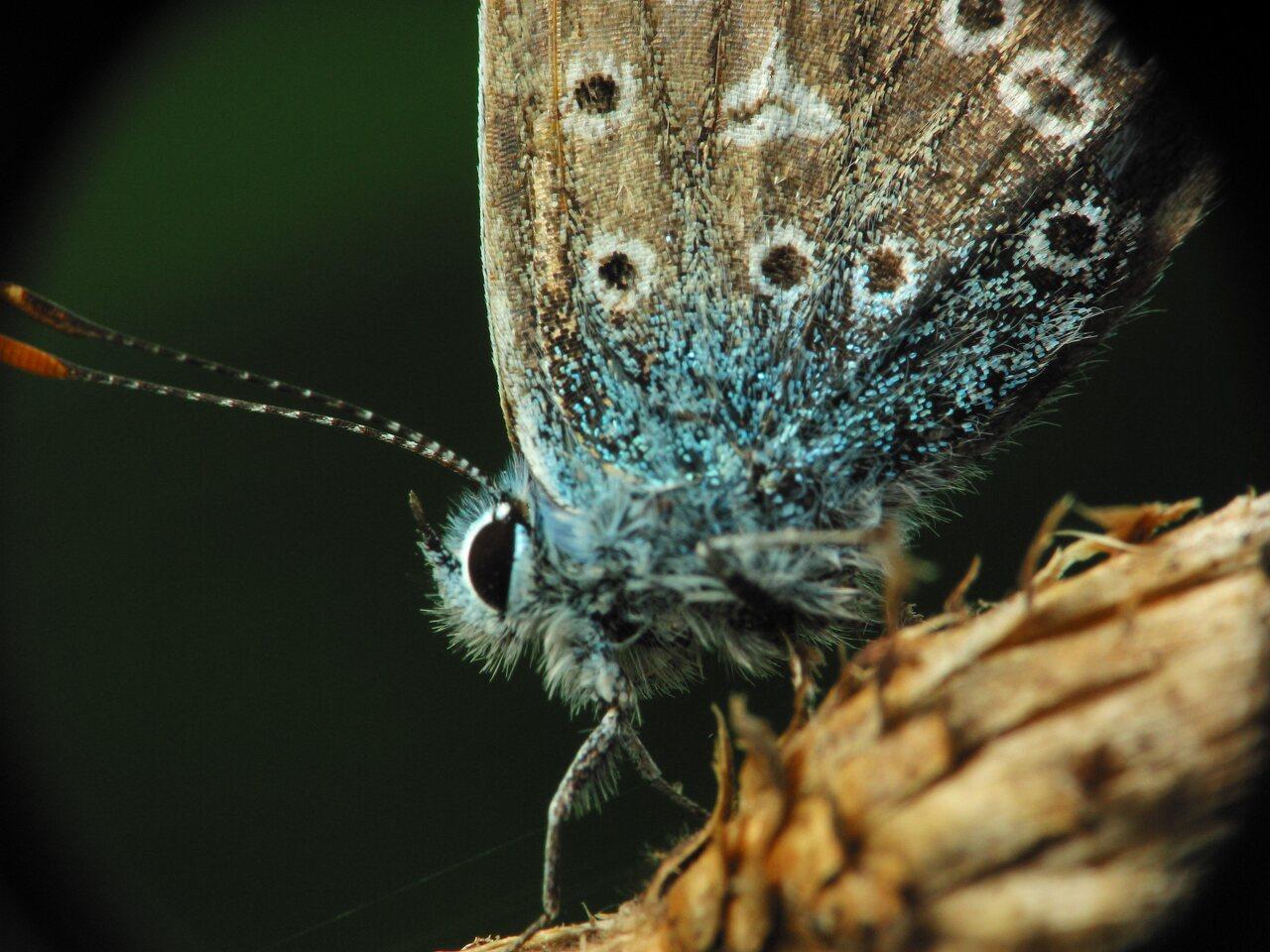 Polyommatus-icarus-2476.jpg