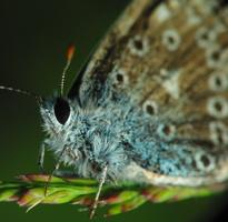 Polyommatus icarus · dirvinis melsvys