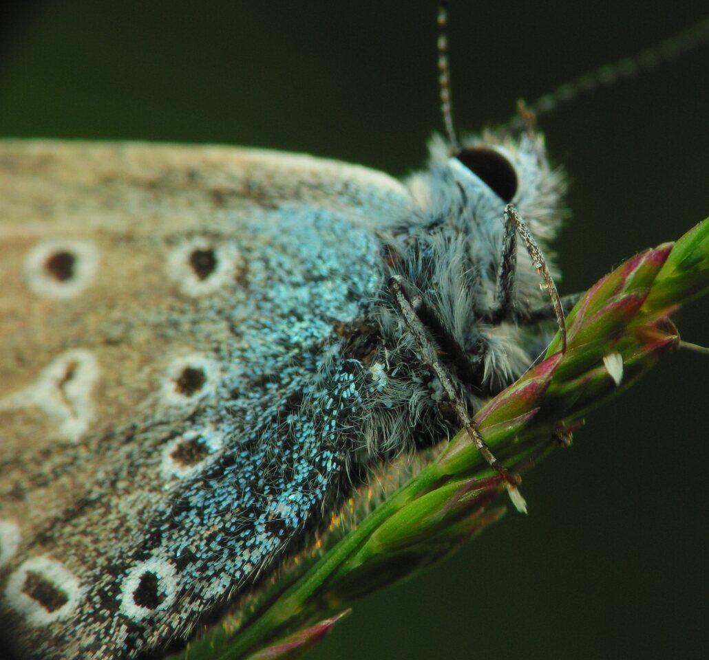 Polyommatus-icarus-2483.jpg