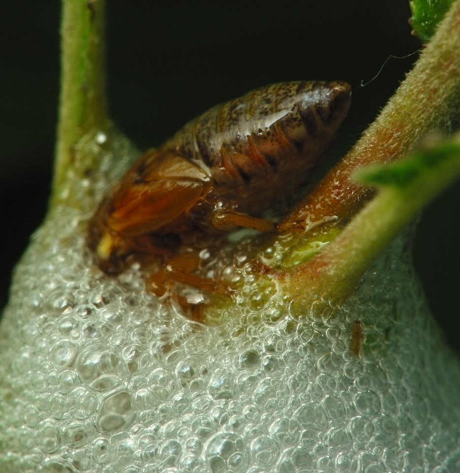 Aphrophoridae-2496.jpg