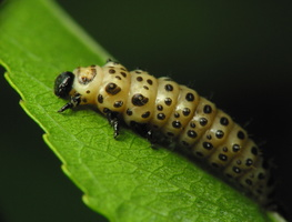 Chrysomela vigintipunctata larva · taškuotasis gluosninukas, lerva