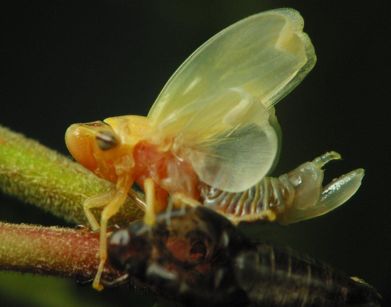 Aphrophoridae-2526.jpg
