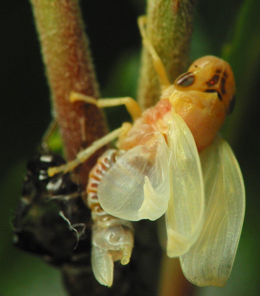 Aphrophoridae-2527.jpg