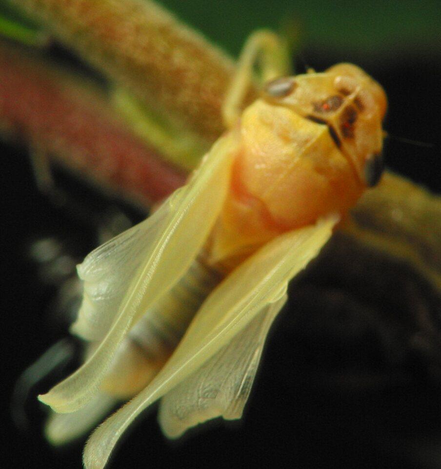 Aphrophoridae-2531.jpg