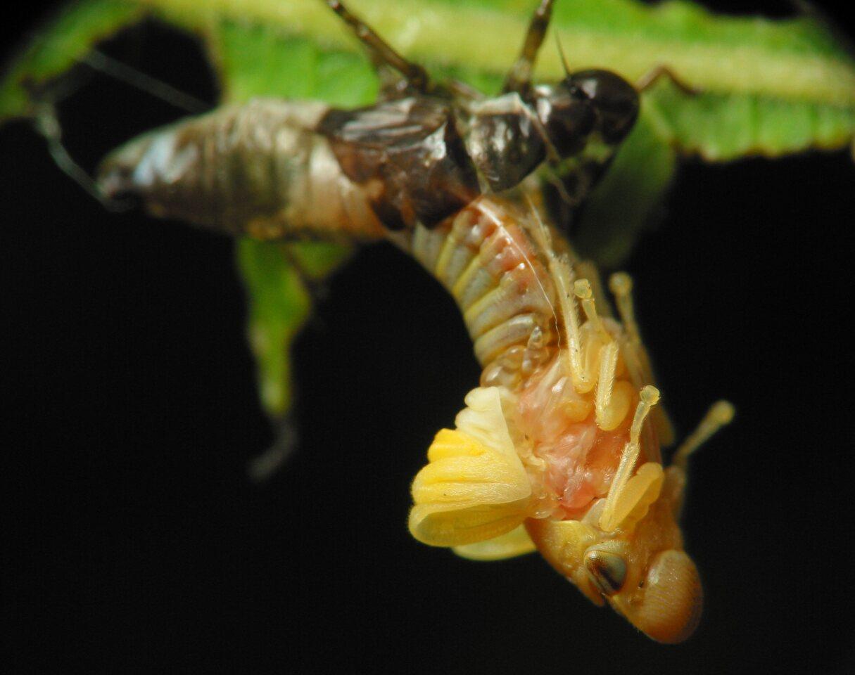Aphrophoridae-2533.jpg