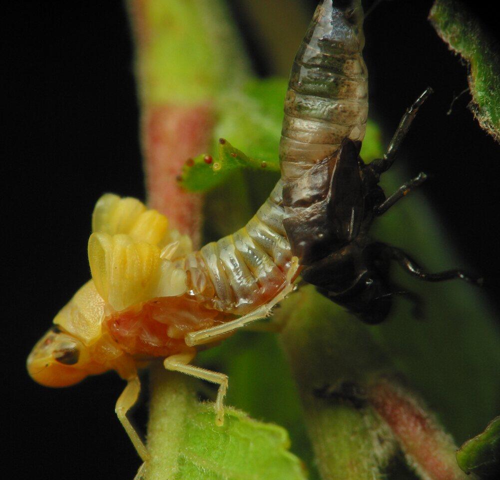Aphrophoridae-2534.jpg