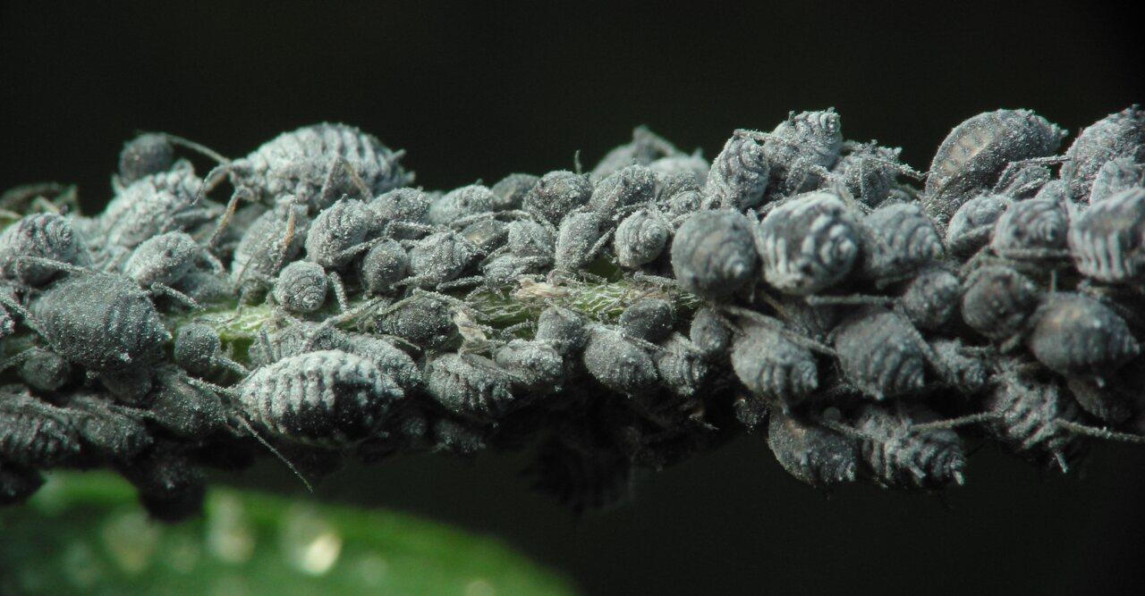 Aphidoidea-2538.jpg