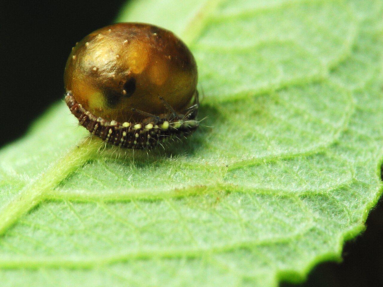 Chrysopidae-larva-2571.jpg