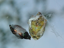 Aculepeira ceropegia food · ąžuolalapis verpstūnas, aukos
