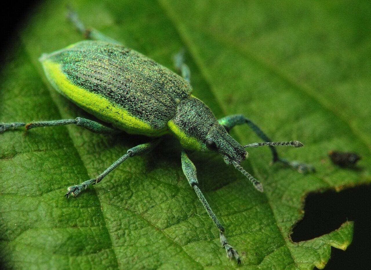 Chlorophanus-viridis-2631.jpg