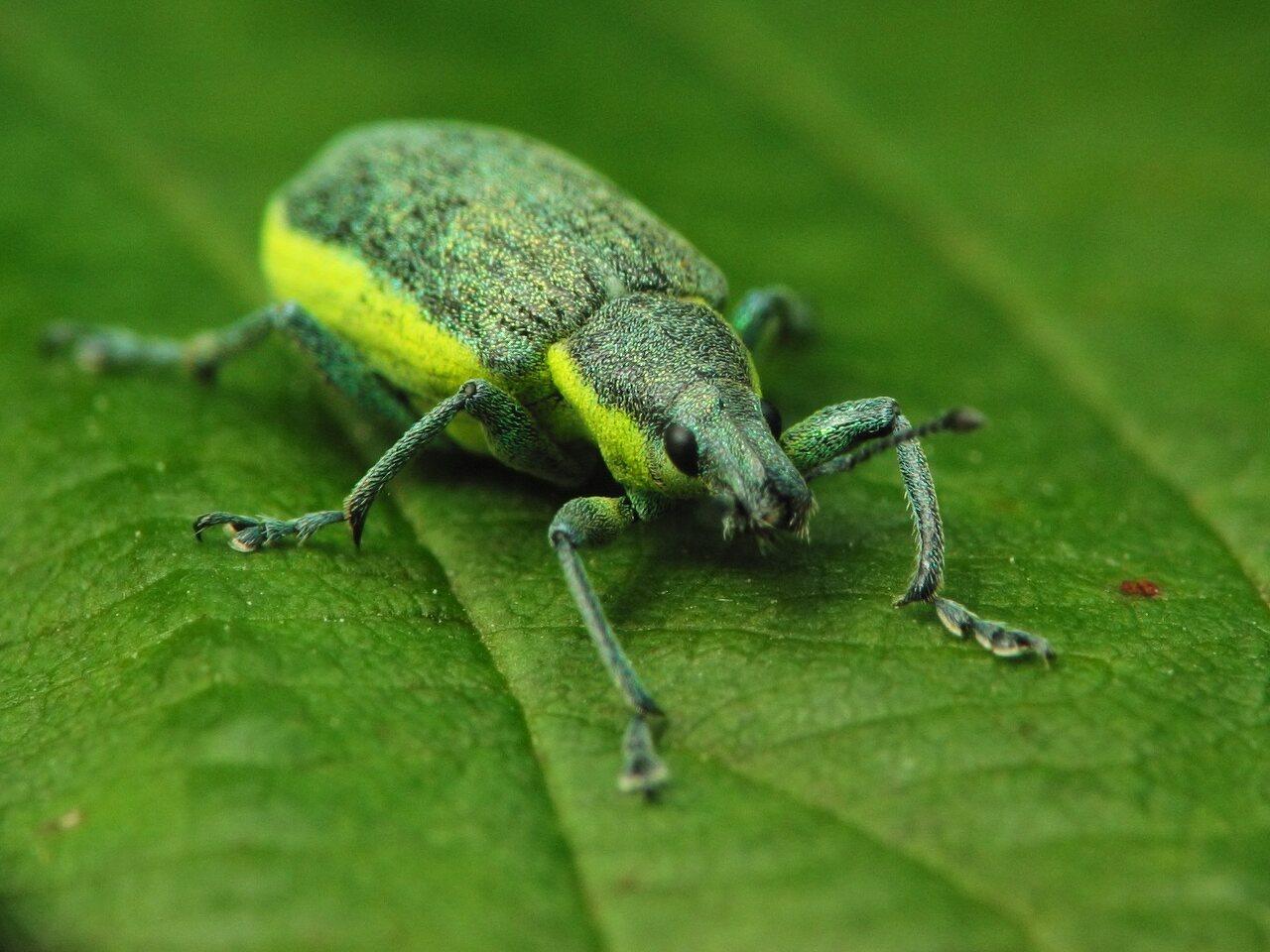 Chlorophanus-viridis-2632.jpg