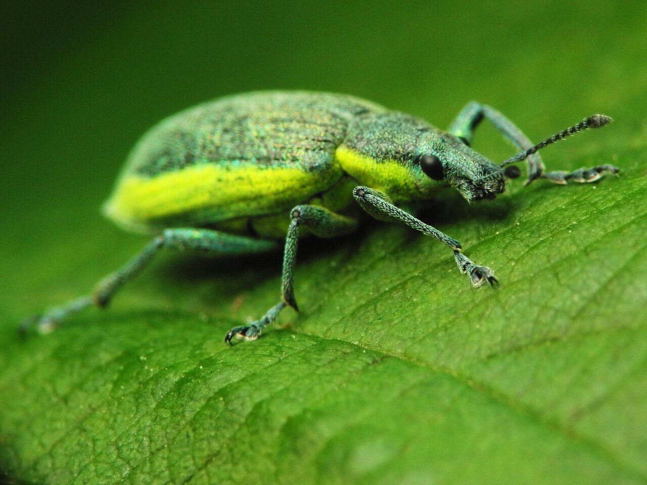 Chlorophanus-viridis-2633.jpg