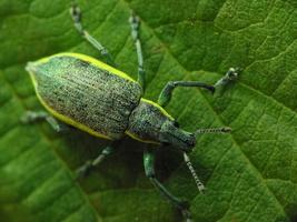 Chlorophanus viridis · geltonšonis straubliukas