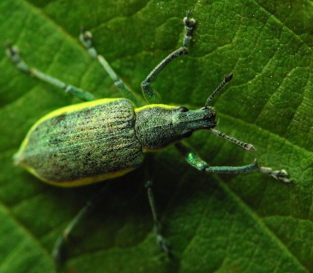 Chlorophanus-viridis-2636.jpg