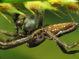Pisaura mirabilis male · paprastasis guolininkas ♂