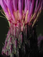 Cirsium palustre · pelkinė usnis