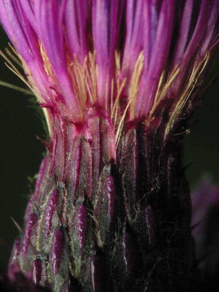 Cirsium-palustre-2642.jpg
