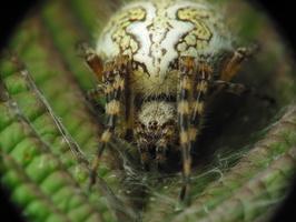 Aculepeira ceropegia, female · ąžuolalapis verpstūnas ♀