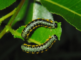 Euura ferruginea · pjūklelis