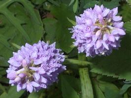 Dactylorhiza longifolia ? · baltijinė gegūnė