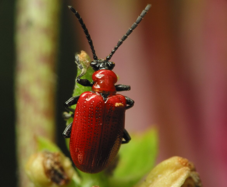 Lilioceris-lilii-2743.jpg
