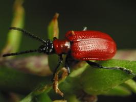 Lilioceris lilii · lelijinis čiuželis
