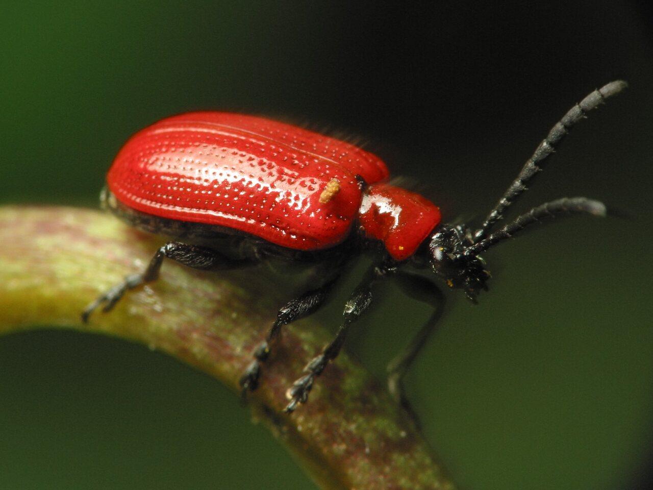 Lilioceris-lilii-2748.jpg